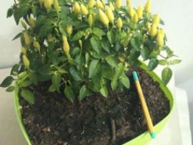 百香果的籽可以种植吗百香果的籽能盆栽吗