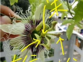百香果花没有花粉,百香果不开花什么原因