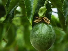 百香果园种植日常管理