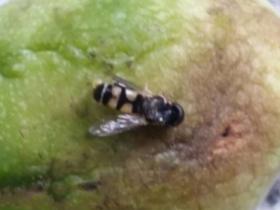 百香果被果蝇叮怎么办