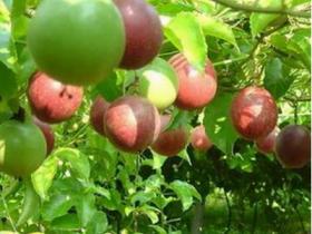 百香果枝扦插方法