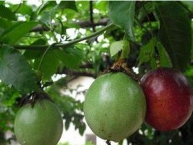 百香果是树还是藤