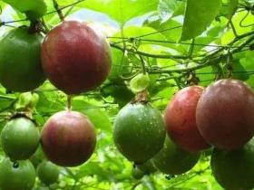 百香果和荔枝可以一起吃吗