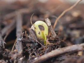 百香果种子多久发芽