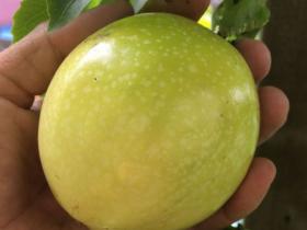 百香果树适合什么环境生长