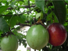 百香果树喜欢什么土壤