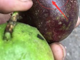 百香果为什么被针筒打水进去