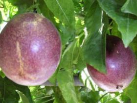 百香果的统果是什么意思