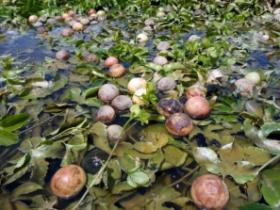 百香果园泡过水的果子还能吃吗