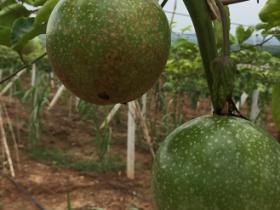 百香果表面果实有斑点可以吃吗