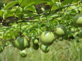20亩百香果一年能收益多少钱
