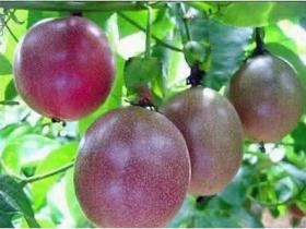 百香果一年结几次果,百香果一年四季都有卖吗