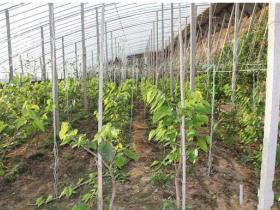 百香果可以大棚种植吗
