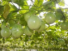黄金百香果是转基因水果吗