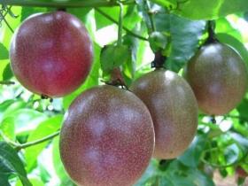 百香果种植技术与管理