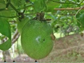 百香果园防治蜗牛措施方法