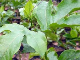百香果四类种苗优缺点比较