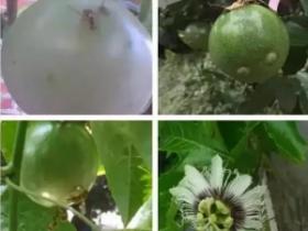如何预防百香果果实蝇,4招赶走果实蝇