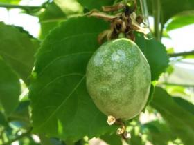 百香果木质化病毒如何防治