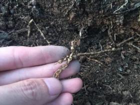 百香果根部出现根结线虫危害,该如何处理
