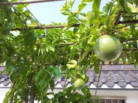 百香果插枝快速生根法