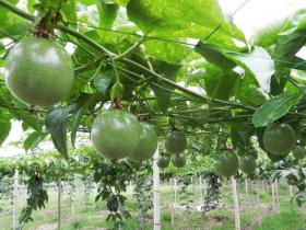 树上的百香果可以催熟吗