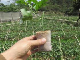 种植百香果1万株苗,死五千的事你们知道吗