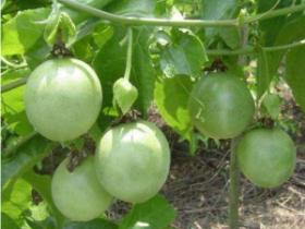 百香果不同种苗类型,嫁接方式优劣势分析