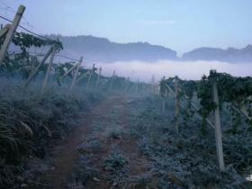 霜冻3天,100亩百香果园全军覆没