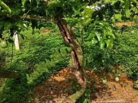 百香果产量低,一年一种有何优势