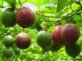 百香果春季种植三条至关重要的因素