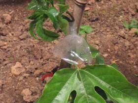 春季百香果虫害这样防治