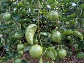 百香果园下能套种什么