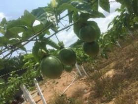 种植百香果每亩需要投入多少钱,所需资金超乎我们想象