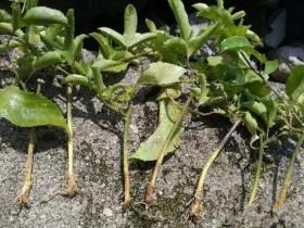 春种下去的百香果苗,怎么根不见了