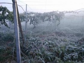 百香果遭遇霜冻天气,如何防冻减损