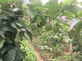 种植十亩百香果一年能赚多少钱