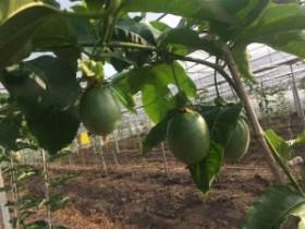 连续下雨,百香果这3种病爆发一周即可毁园,防治方案来了
