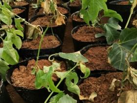 百香果苗木繁殖不同方式利弊分析:选对种苗,果多病少品质高
