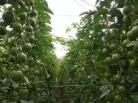 百香果双层垂帘种,亩产过万不是梦