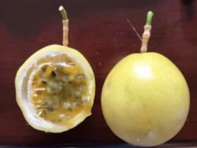 """广西种植户自育""""维蜜""""黄金果,大手笔种了800亩,价格比普通黄金果更高"""