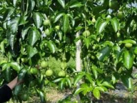 百香果基地介绍,百香果产地主要集中在哪