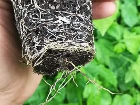 百香果花芽分化时期,百香果什么时候长花芽