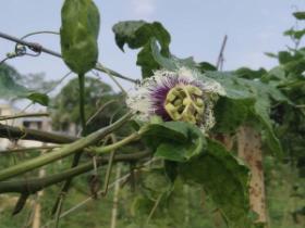 百香果种植管理成败三要素的方法,资金,人员,执行力