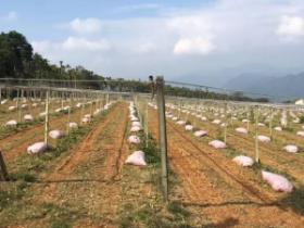 种植百香果,施足有机肥是百香果优质高产的基础