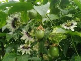 百香果遇极端气候,国产百香果什么时候能上市