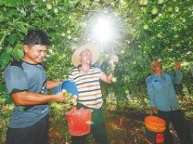 帮人家种植百香果一个月多少钱