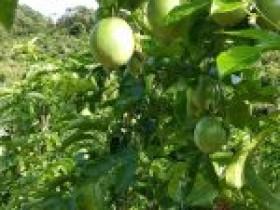 新疆玛纳斯县广东地乡繁育场村种植百香果
