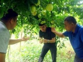 浦北县白石水镇红岭村打造百香果种植基地,助力贫困群众脱贫致富