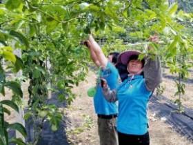 上林县白圩镇覃排社区毛塘百香果产业扶贫示范园